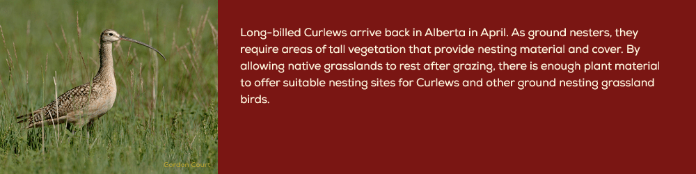 curlew-section