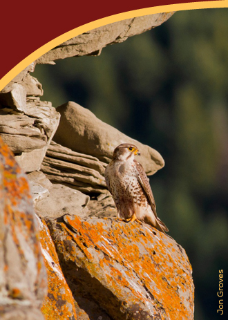prairie-falcon