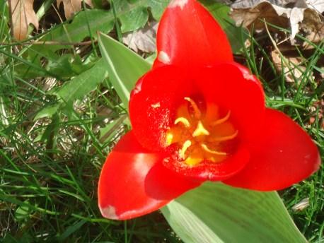 red tulip 1