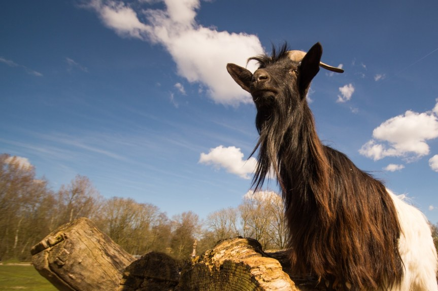 A Charity Goat – The Gift That Keeps On Giving