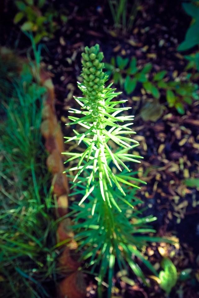 liatris spicata - near to flowering
