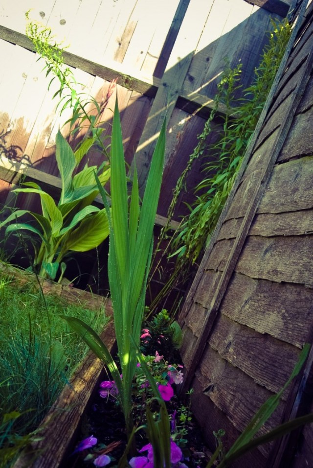 Young Gladiola bed