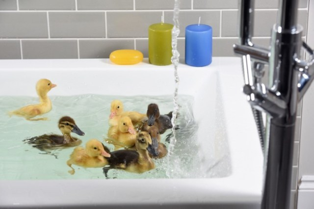 Bathrooms.com have announced a national search for an official duck tester to sample a Bathrooms.com bath and be an official duck tester ambassador. The six ducks to test the bath will go against each other for a chance to be granted the official position.  SELECTION   We have looked through the images and shortlisted the ones we want to share with the press.  Press photos:  31 32 41 44 67 91 39 112 130