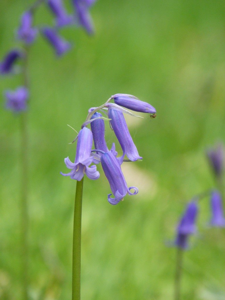 Gorgeous bluebells