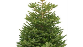 christmas tree from pines and needles - Christmas Tree Smell