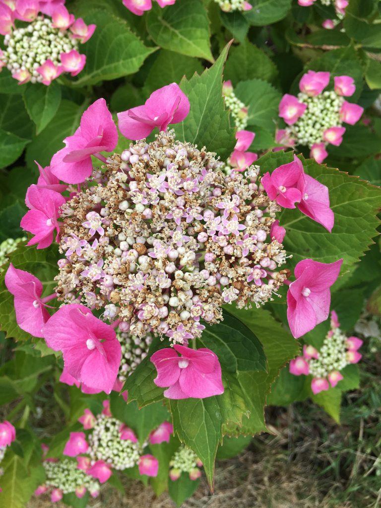 Hydrangea, Garden, 365