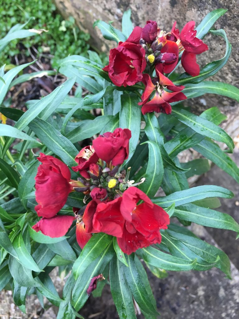 Wallflowers, Flowers, Garden, Spring, My Sunday Photo, Silent Sunday
