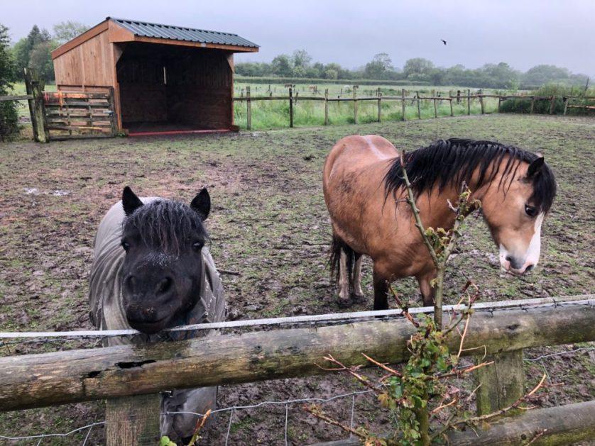 Ponies, Horses, Rain, 365