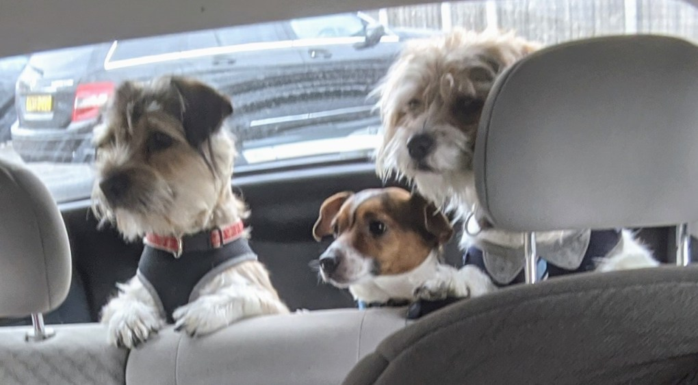 Three dogs in the back of a car with their heads popping up into view