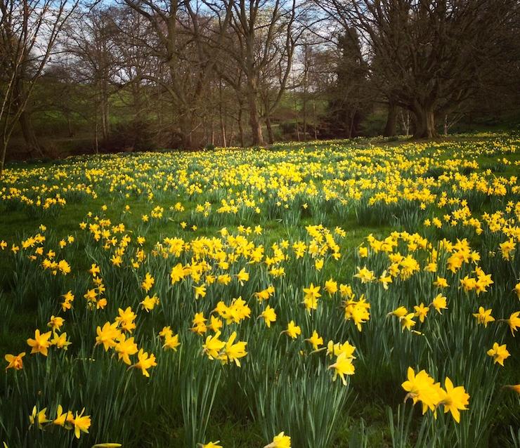 Daffodils, Kent. Copyright Gretta Schifano