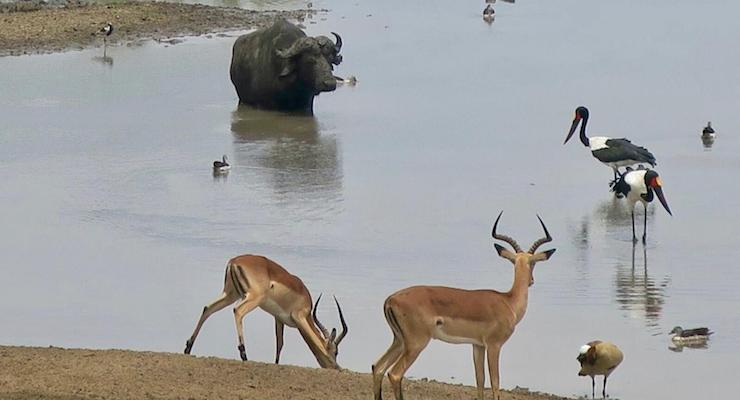 Animals at a water hole, Kruger National Park, South Africa. Copyright Lorenza Bacino