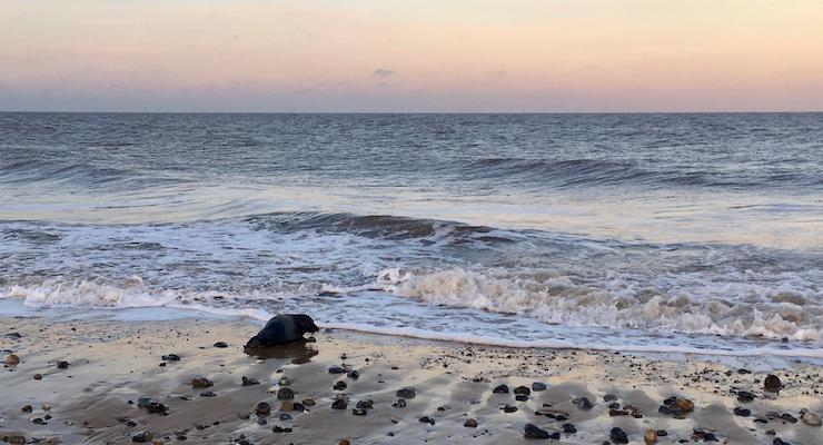 Seal pup going for a swim, Winterton beach, Norfolk. Copyright Gretta Schifano