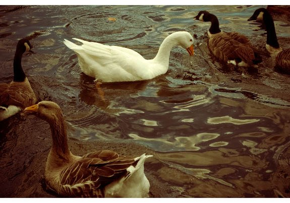 Ducks, Feeding ducks, geese, duck pond, lake, bird feeding