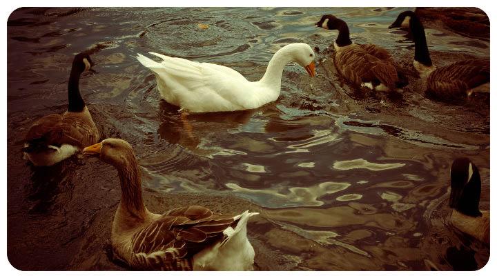 Ducks, Feeding ducks, geese, duck pond, lake, bird feeding