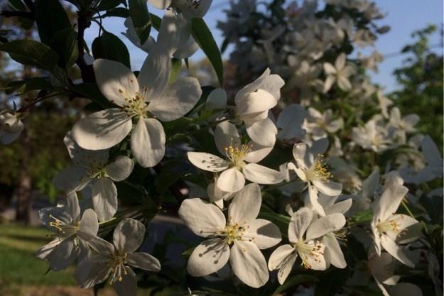 Spring Blossoms 15
