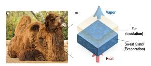 Electricity-Free Cooling Material is Inspired by Camel Furs