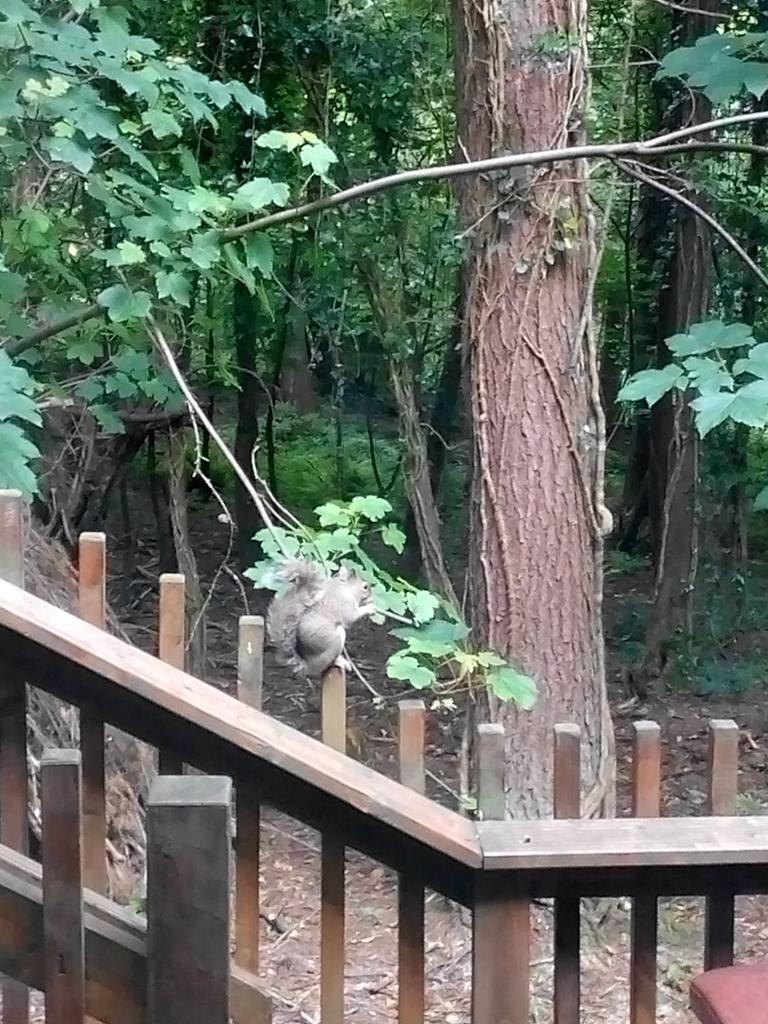 Squirrel forest of dean