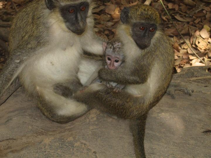 Monkeys gambia