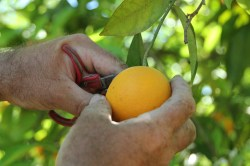 venta de naranjas online