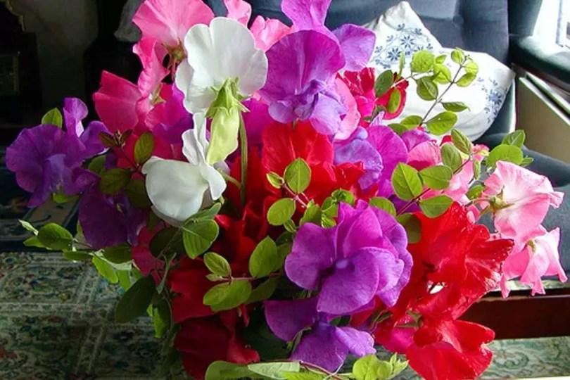Flores de Ervilha Doce | Foto: Flower Info