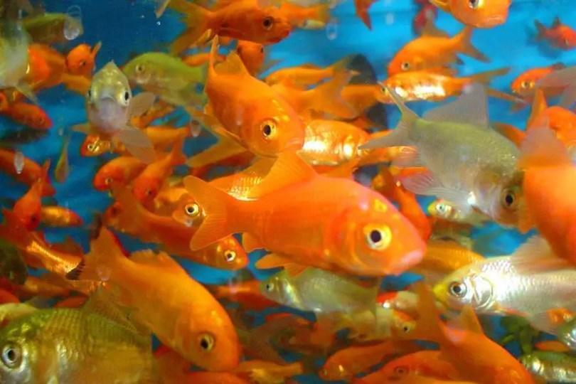 Cardume de peixes dourados (Foto: 123RF Stock Photos / Free) Todos os direitos reservados. 900x600 | 19/02/2016.