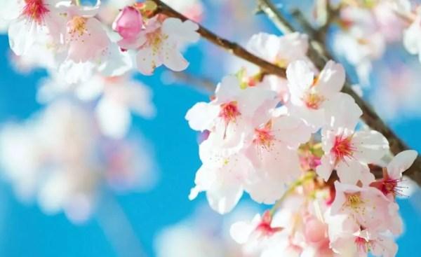 Flor de cerejeira   ©Cloudbi/Flickr