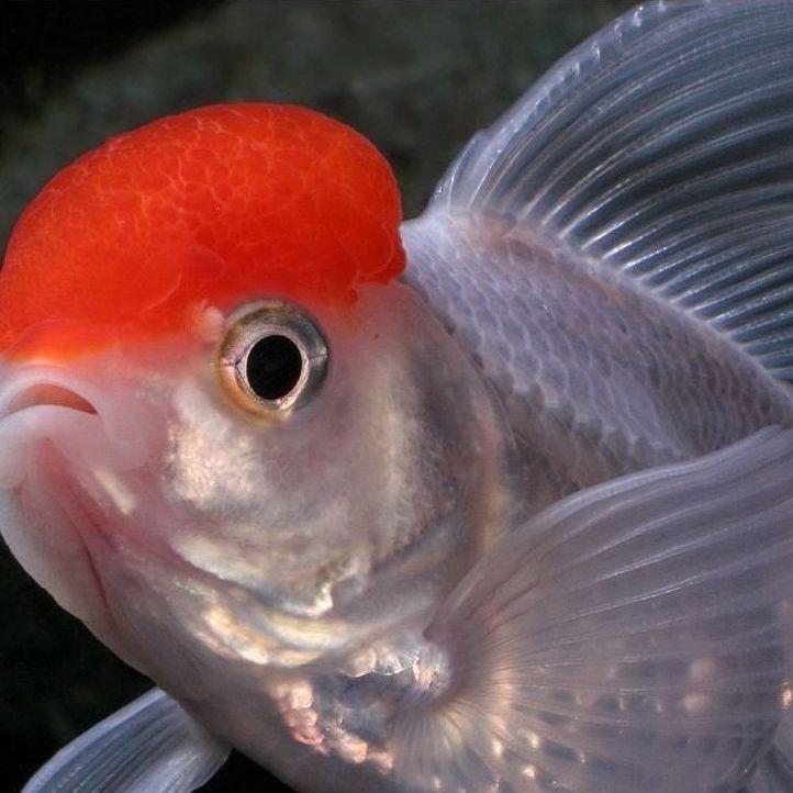 pez hamanishiki