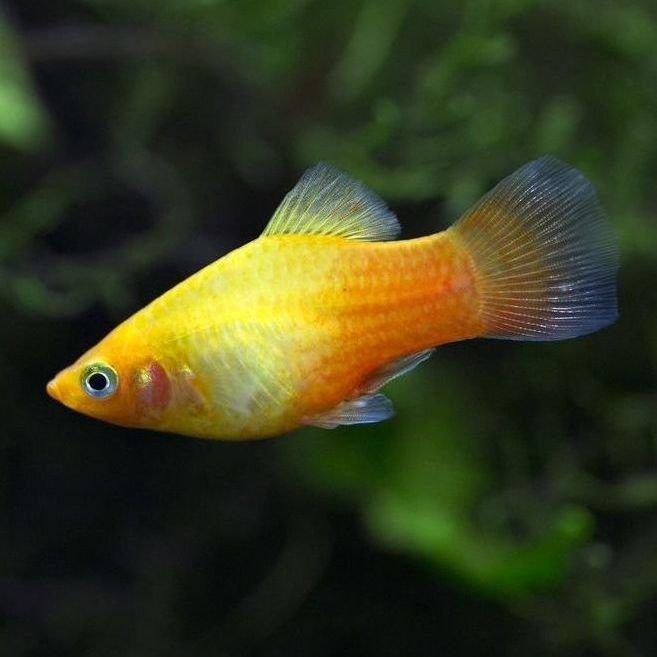 pez platy informaci n para acuarios mundo acuario