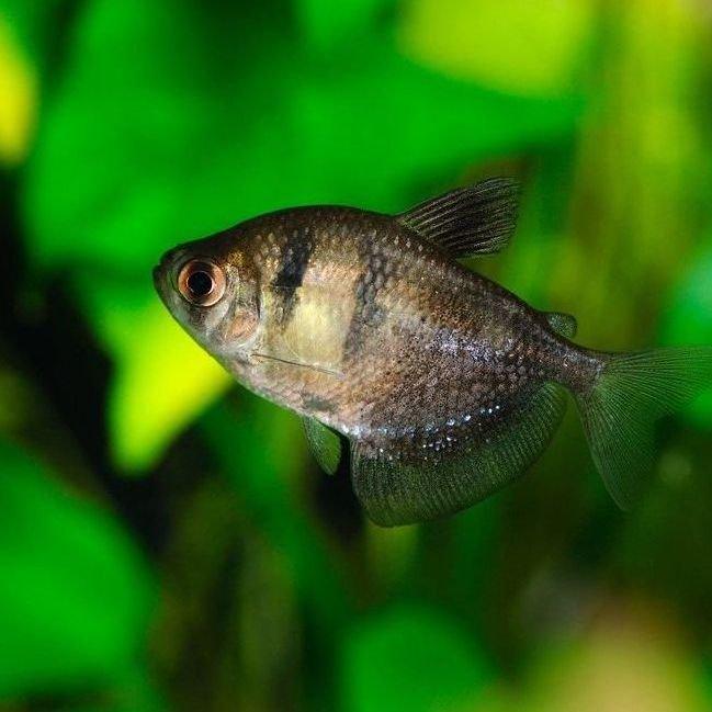 pez monjita
