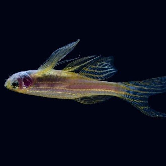 Pez cebra toda la informaci n para sus cuidados mundo for Enfermedades de peces goldfish