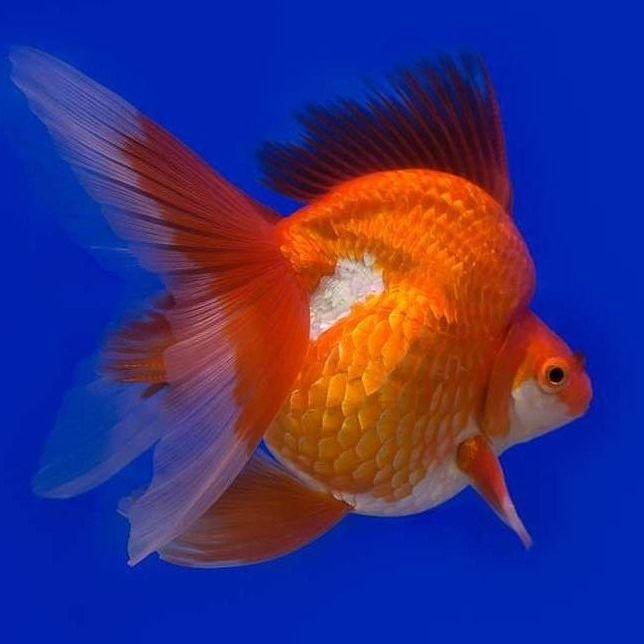 pez cola de velo