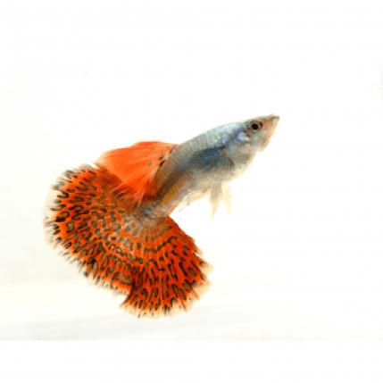 enfermedades-del-pez-guppy.png