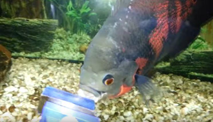 Pez Oscar toda la información para acuarios - Mundo Acuario