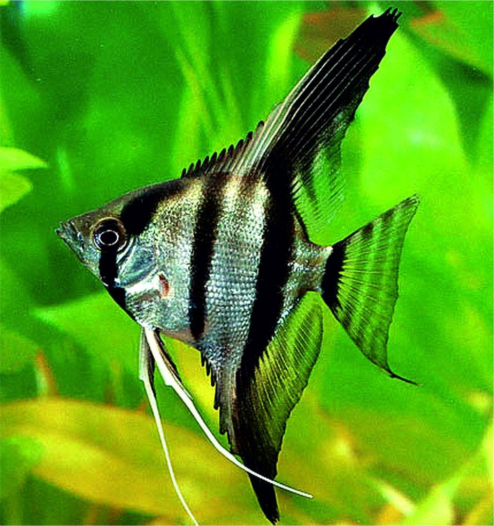 pez escalar o pez ngel mundo acuario