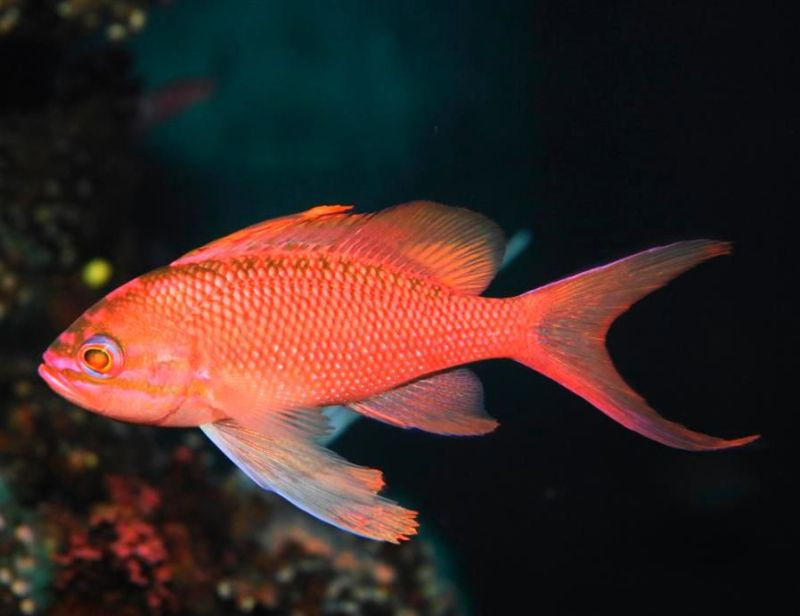 Pez Anthias Cola de Lira