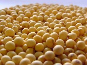 semilla-soja_1