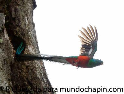 294401 158509234231575 113673238715175 325009 7983422 n - Galería - fotos del Quetzal, ave nacional de Guatemala