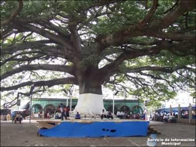 Ceiba por rondasomontano.com 1 - La Ceiba Pentandra, Símbolo Nacional de Guatemala
