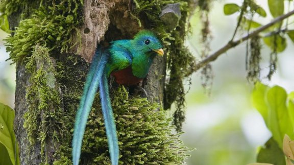 El Quetzal, ave nacional de Guatemala - foto por Abner Chinchilla
