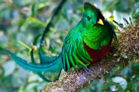 El Quetzal de bruno - Galería - fotos del Quetzal, ave nacional de Guatemala