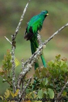 El Quetzal foto por Roberto Quezada - Galería - fotos del Quetzal, ave nacional de Guatemala