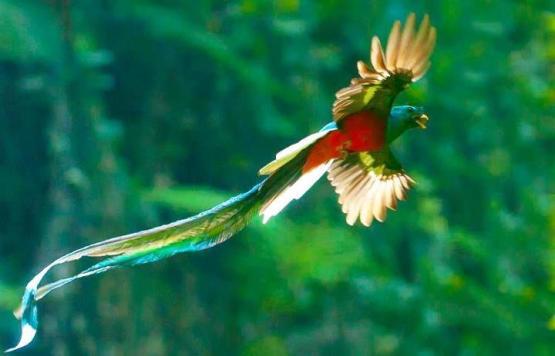 El Quetzal foto por Thorn Janson via TACA Regional - Galería - fotos del Quetzal, ave nacional de Guatemala