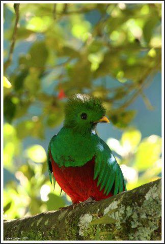 El Quetzal foto por flickr brettocop - Galería - fotos del Quetzal, ave nacional de Guatemala