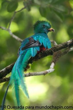 El Quetzal joven foto por Roberto Quezada - Galería - fotos del Quetzal, ave nacional de Guatemala
