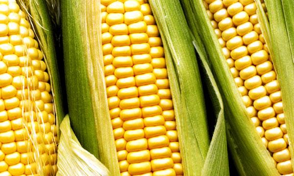 Elotes se observan los granos de maiz que se utilizan para hacer el atol foto por clubdarwin.files .wordpress.com  - Receta para hacer Atol de Elote