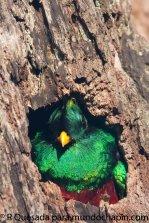 Fotografía de Roberto Quezada - Galería - fotos del Quetzal, ave nacional de Guatemala