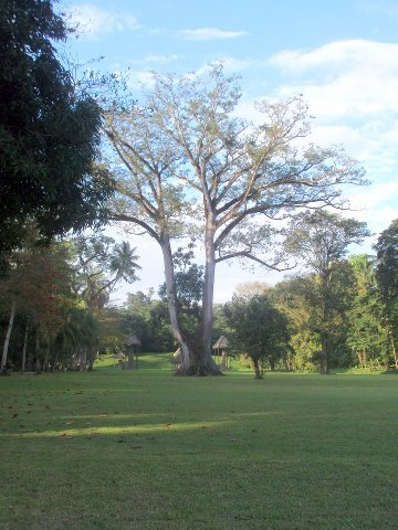 Ceiba Pentandra en Quirigua - foto por Silvia Sanchez