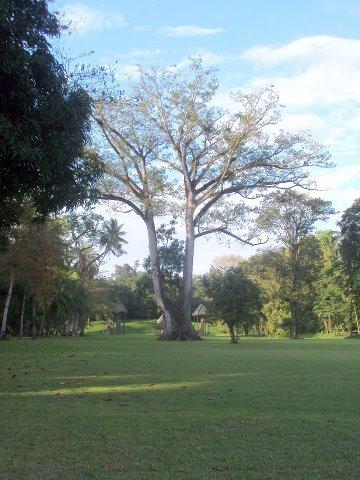 ceiba pentandra silvia sanchez quirigua - La Ceiba Pentandra, Símbolo Nacional de Guatemala