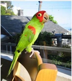 El loro, una mascota ideal, que de mucha alegria - foto por varbak.com