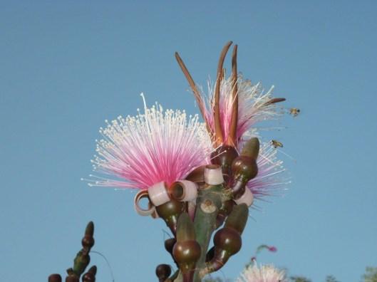 Flor que se ve en Guatemala Gila Bailarina Clavelina Sospó su nombre científico es Pseudobombax Ellipticum foto por José Joaquín Pérez e1360013320187 - Galería - Fotos de Flores